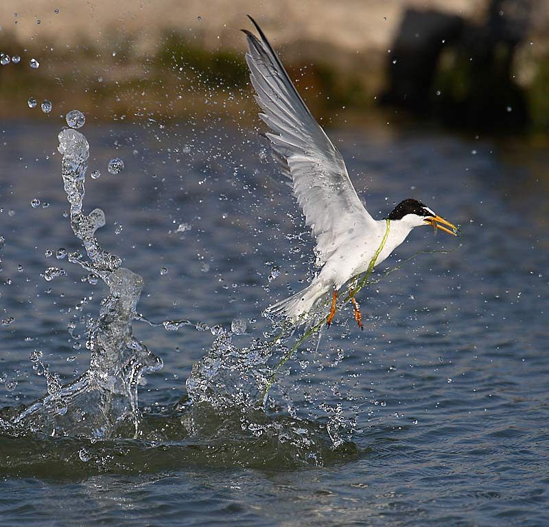 Little tern catching a fish