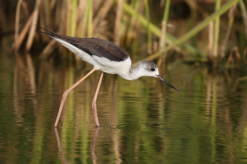 Green reflections and Black-Winged Stilt
