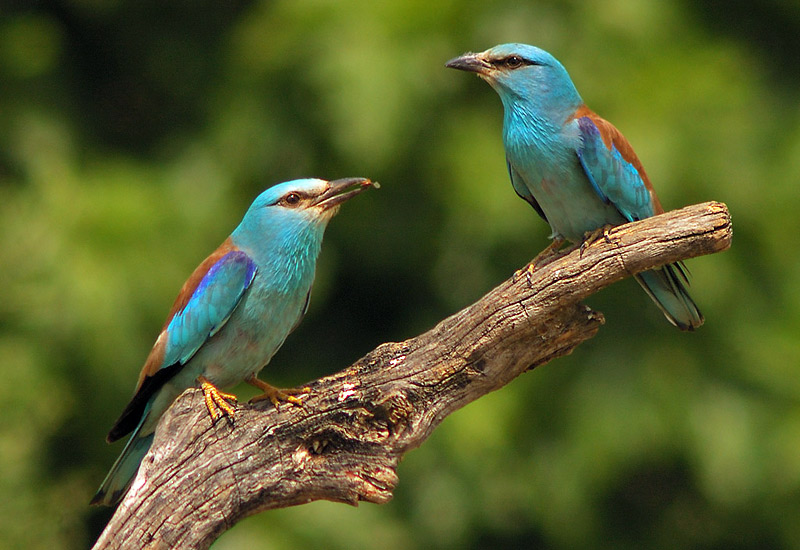 Couple of European Rollers