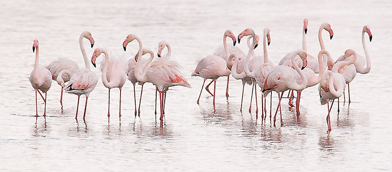 Flamingos in a rainy day