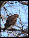 Title: Common Buzzard