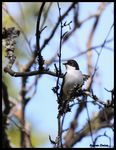 Title: European Pied Flycatcher