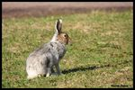 Title: Mountain hare