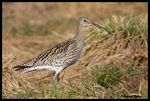 Title: Eurasian Curlew