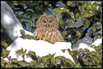 Title: Ural Owl - 600 photos