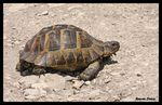Title: Spur-thighed Tortoise