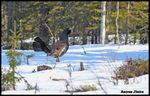 Title: Western Capercaillie