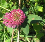 Title: Red clover