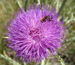 Title: Thistle and bee