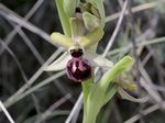 Title: Ophrys sphegodes Mill.
