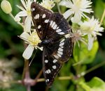 Title: Limenitis reducta
