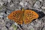 Title: Silver-washed Fritillary