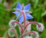 Title: Borago officinalis  L.