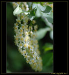 Title: Chokecherry