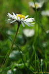 Title: Simple English Daisy