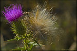 Title: Thistle Down