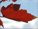 Title: The Maple Leaf Forever