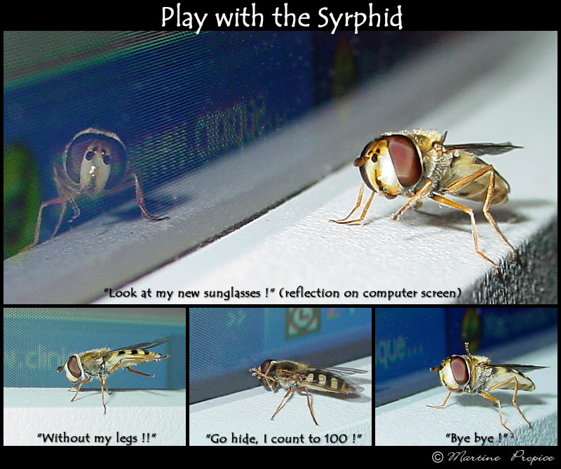a tame syrphid ?