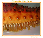 Title: SEA STAR WALKING