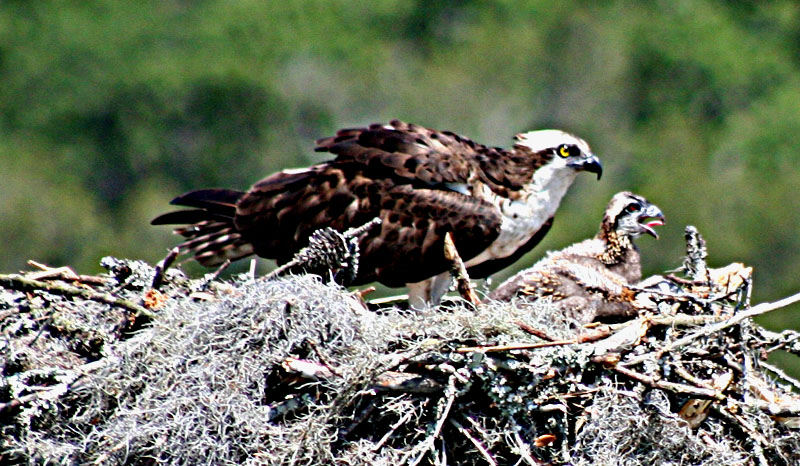 Osprey Mother & Unhappy Chick