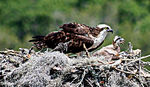 Title: Osprey Mother & Unhappy Chick