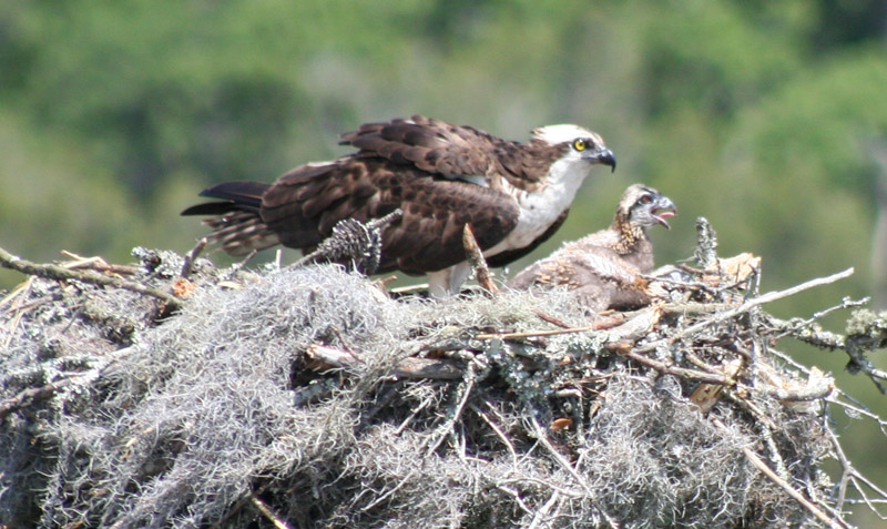 Mother Osprey and chick