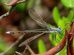 Title: Emerald Spreadwing