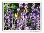 Title: Butterfly on lavender