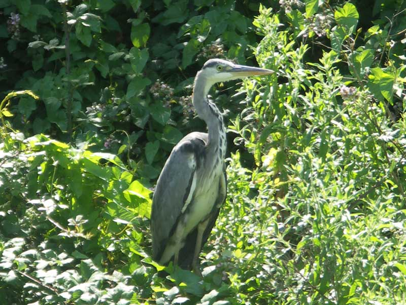 Heron on bank of Swindon Canal