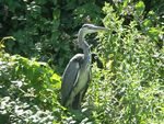 Title: Heron on bank of Swindon Canal