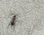 Title: Ant in the Sand