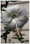 Title: Hibiscus in white