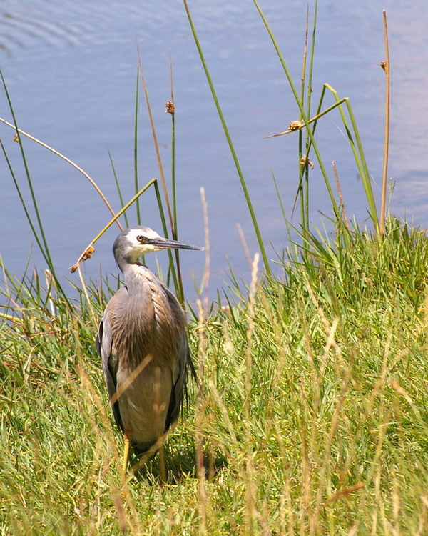 ~White-faced Heron~