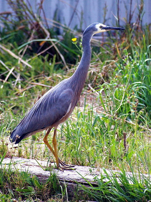 ~White-faced Heron II~