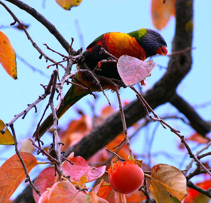 ~Rainbow Lorikeet~