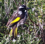 Title: ~New Holland Honeyeater~