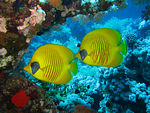 Title: Masked Butterfly fish