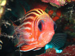 Title: Soldier Fish