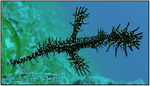 Title: ornate ghost pipefish