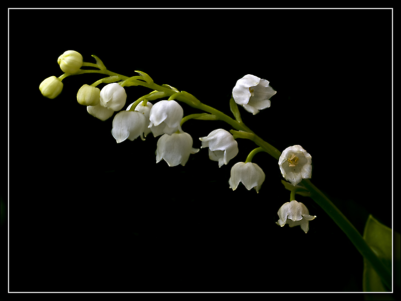 M�ge - Lily Of The Valley