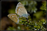 Title: Commonblue - Polyommatus icarusSony Alfa dSLR A100