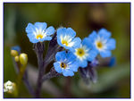 Title: Unutmabeni - Forget-me-not