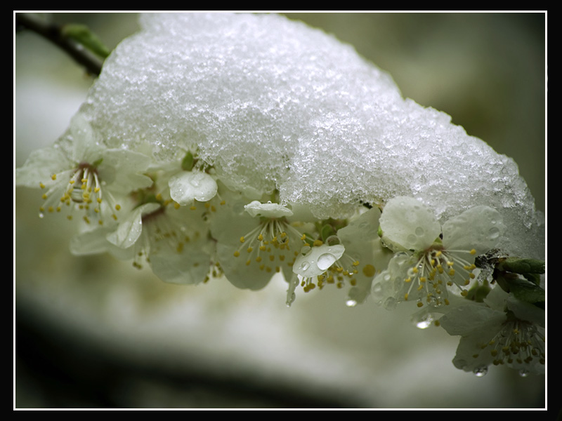 Snow and Flower