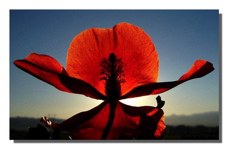 Poppy and sunset