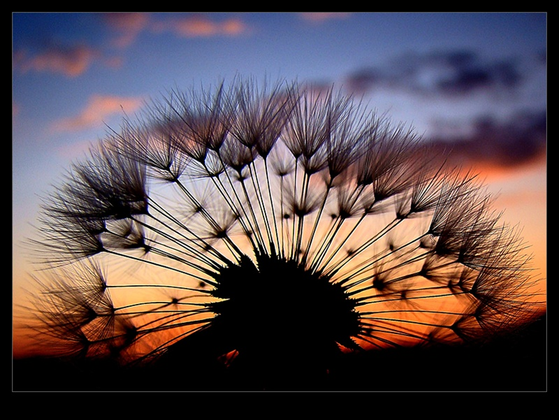 Dandelion and sunset
