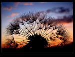 Title: Dandelion and sunset