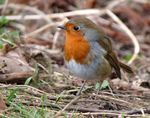Title: Easter Robin
