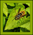 Title: Common Wasp