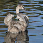 Title: Cygnet to Swan