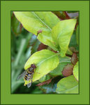 Title: Hoverfly (Syrphus Ribesii)